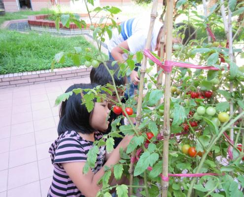 全班一起 採番茄很 開心,我 們 送給師長和畢業生,他們都說很好吃、很甜。