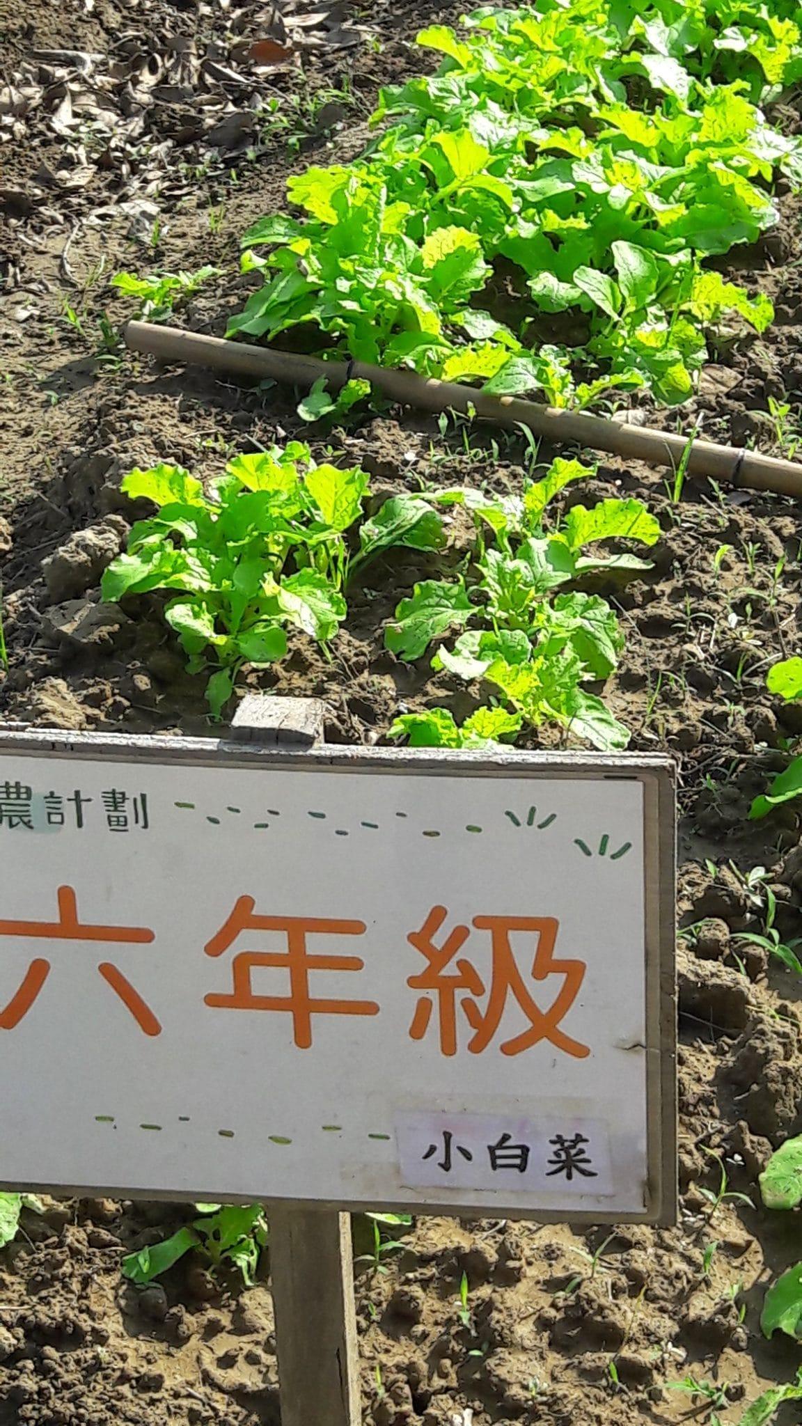105.11.8六甲的小白菜生長情形