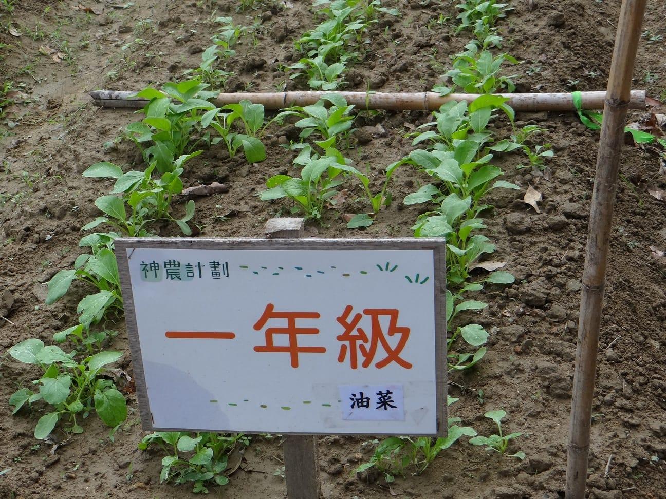 105.11.8一甲的油菜生長情形