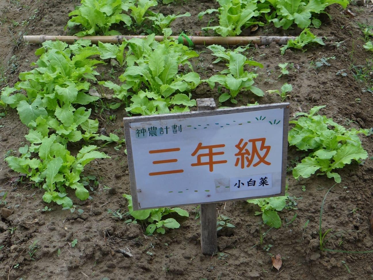 105.11.8三甲的小白菜生長情形