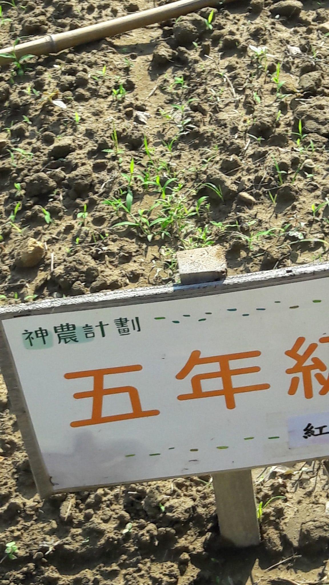 105.11.8五甲紅蘿蔔生長情形